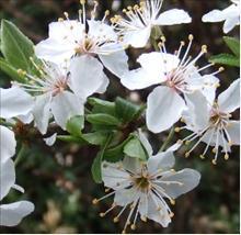 Боярышник обыкновенный цветы