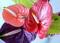 Цветы антуриума