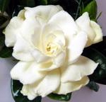 гардения цветок