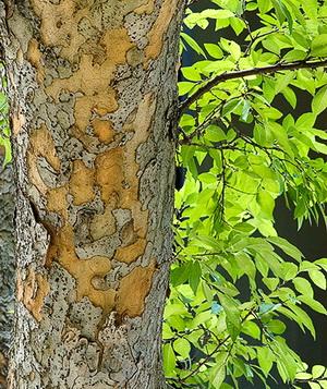 вяз мелколистный кора