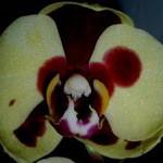 Фаленопсис лимонный далматин