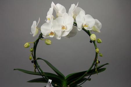 phalaenopsis_white