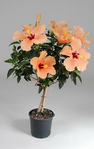 Гибискус цветок домашний