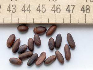 семена хурмы