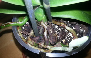 фаленопсис чернеют корни