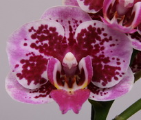 phalaenopsis Baby-Beauty