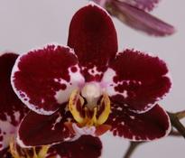 phalaenopsis Black Velvet