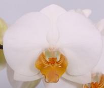 phalaenopsis Darwin
