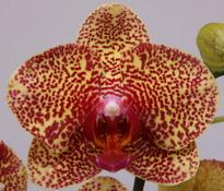 phalaenopsis dazzle