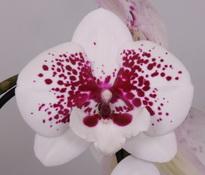 phalaenopsis Dazzling-KizZ