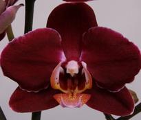phalaenopsis Debora