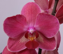 phalaenopsis Diamond-King