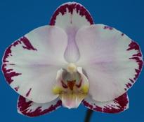 Doritaenopsis Arakaki Spring Fairly ' Arakaki  1′