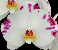 """Doritaenopsis Arakaki White World Dream """" Kitty """""""