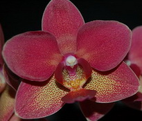 Phal. Brother Oconee 'Red Dream'