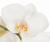 Phalaenopsis Adelaide