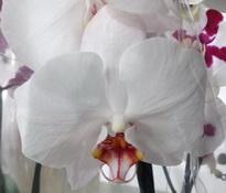 Phalaenopsis Alabaster