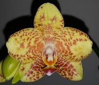 Phalaenopsis Cali Style