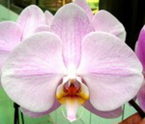 phalaenopsis Diamond Bride 'Japan'