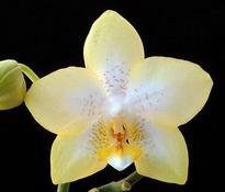 Phalaenopsis_Deventeriana_'Treva' 6cm