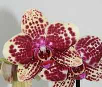 phalaenopsis banu