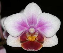 фаленопсис bro pico sweet 4cm