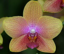 фаленопсис bro sara gold 9cm