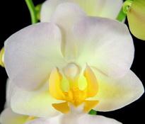 phalaenopsis burgundy-champagne