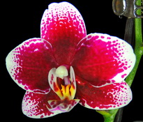 phalaenopsis burgundy-red