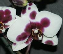 phal almeria 8 cm