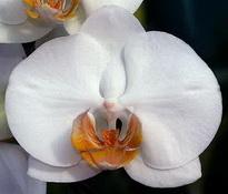 phal anthura darwin 8cm