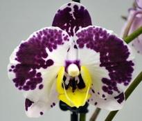 phalaenopsis bellicose