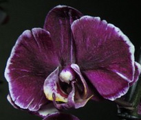 phalaenopsis chiada stacy chocolate drop