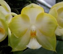 Doritaenopsis-Hos-Lemon-Squash