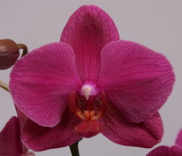 phalaenopsis Fire-Fly
