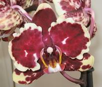 phalaenopsis Fire