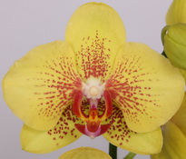 phalaenopsis Fireworks