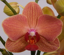 phalaenopsis Gold-Fish