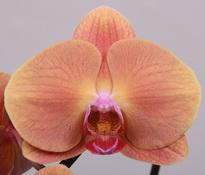 phalaenopsis Gold-Rush