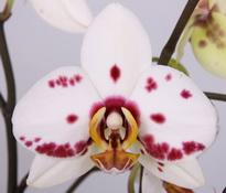 phalaenopsis Good Times