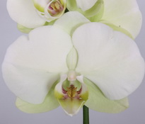 phalaenopsis Green-Apple
