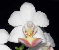 Phal. Formosa ´Dream`