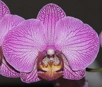 Phalaenopsis-Etherege-Princess