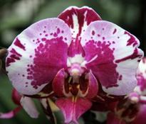 Phalaenopsis Ever Spring Prince 'Harlequin'