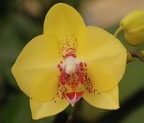 Gan Lin 'Yellow Lover'