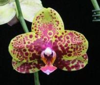 Phalaenopsis Haur Jih Princess 'Ocelot'