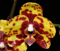 Phalaenopsis Haur Jin Diamond