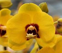 Phalaenopsis Haur Jin Diamond1