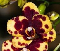 Phalaenopsis Haur Jin Princess