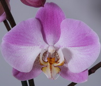 phal empada so satisfied 9cm